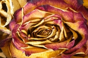 Dried Roses - #4