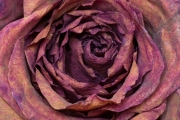 Dried Roses - #6