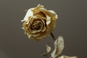 Dried Roses - #8